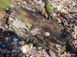 Totholz mit Myxomycet Hemitrichia