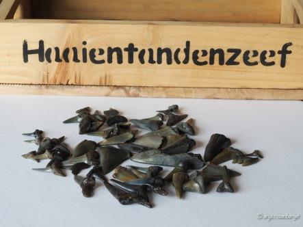 Fossile Haifischzähne for einem Sieb