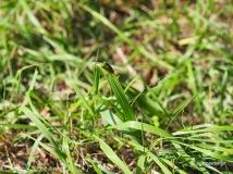 Wipfel-Stachelwanze auf Grashalm