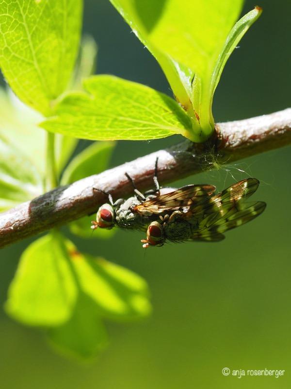 Fliegen Paarung