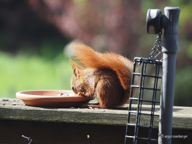 Eichhörnchen beim Fressen auf Balkon