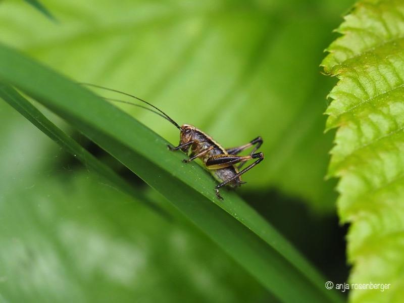 Gewöhnliche Strauchschrecke - Pholidoptera griseoaptera