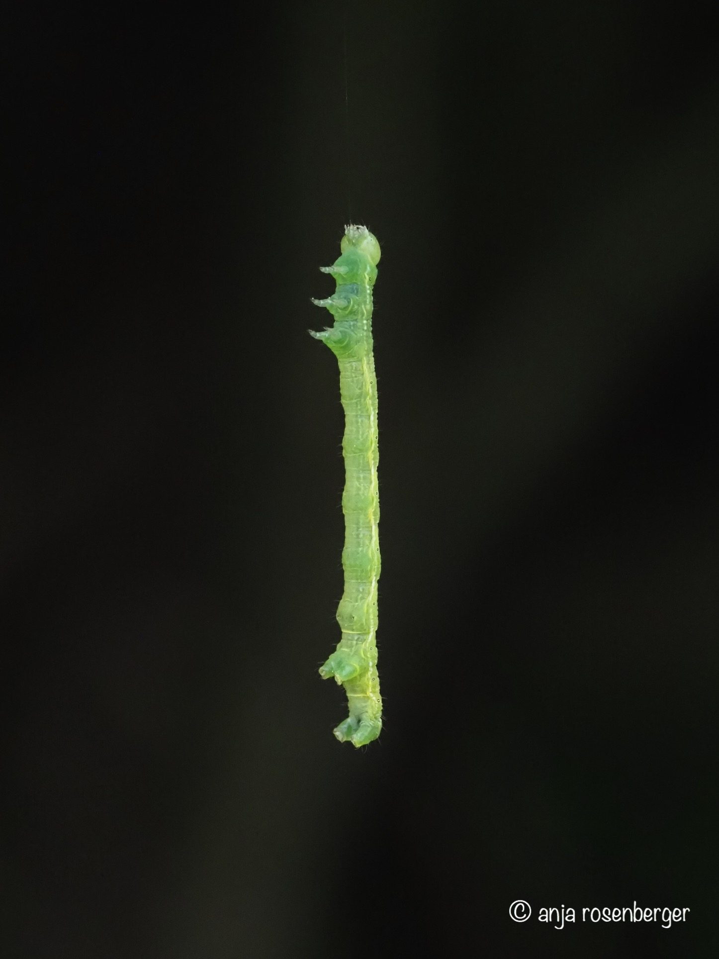 Grüne Raupe seilt sich von Baum