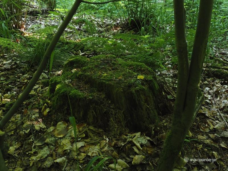 Gelbe Lohblüte - Fuligo septica Myxomycet