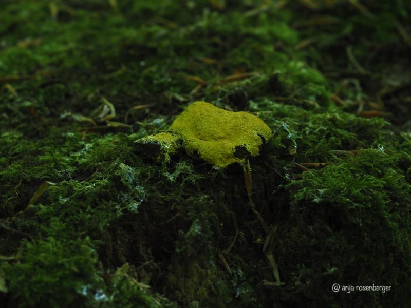 Gelbe Lohblüte - Fuligo septica Myxmycet