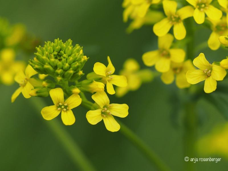 Gewöhnliches Barbarakraut - Barbarea vulgaris