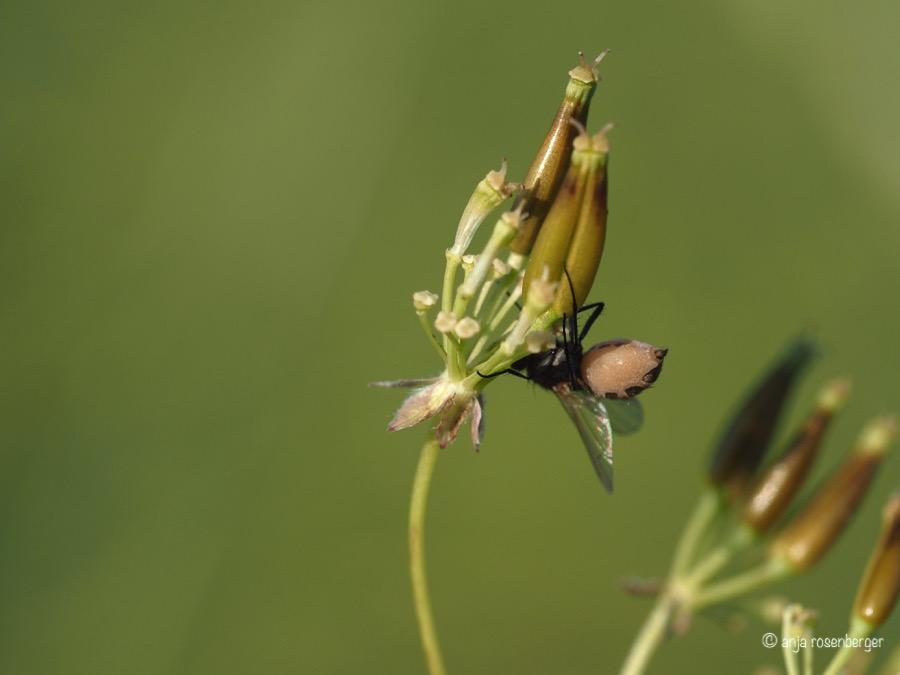 Fliegentöter Pilz ntomophthora muscae