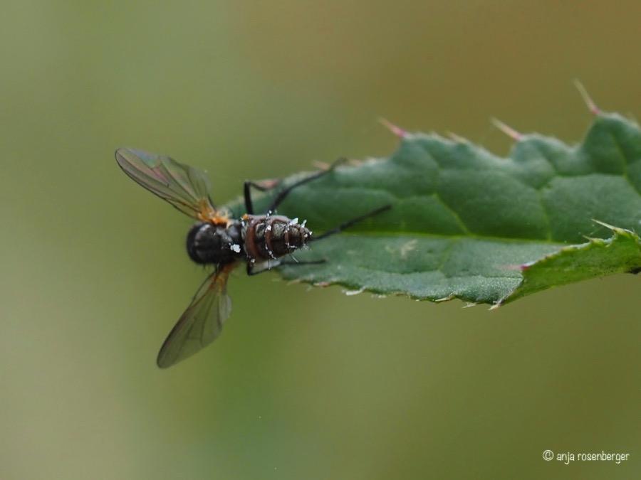 Fliegentöter entomophthora muscae