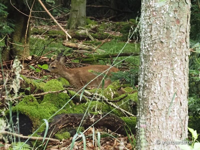 Rehkitz im Wald beim Äsen