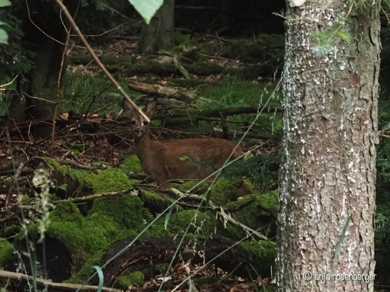 Rehkitz im Wald