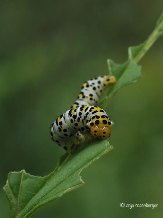 Braunwurz-Mönch Raupen (Shargacucullia scrophulariae)