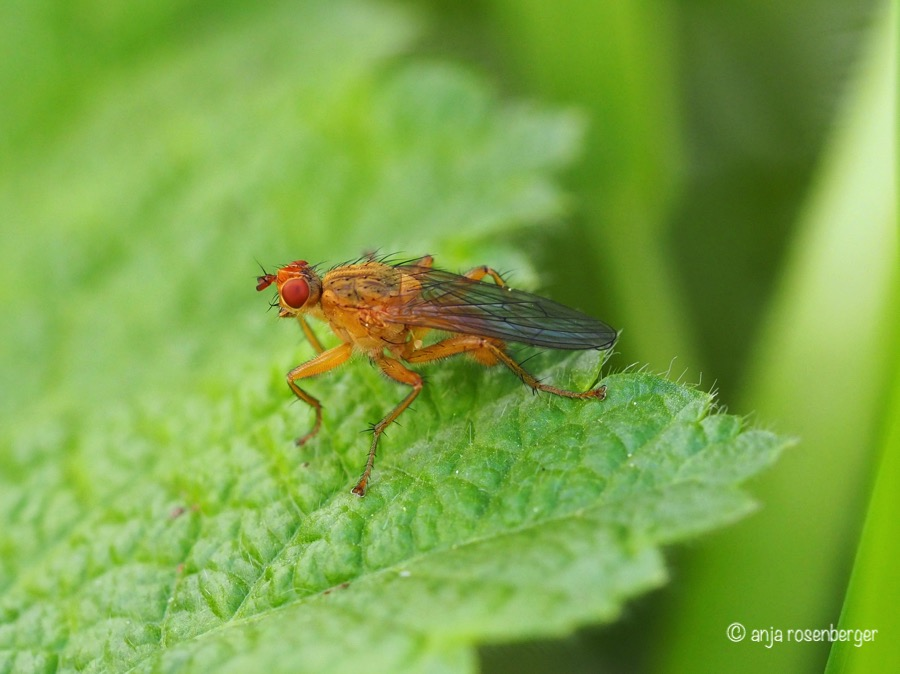 Dungfliege (Scathophagidae) - Scathophaga suilla