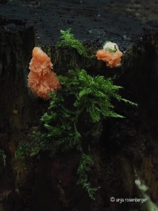 Myxomyceten Lachsfarbener Schleimpilz, Fischeierschleimpilz, tubulifera arachnoidea