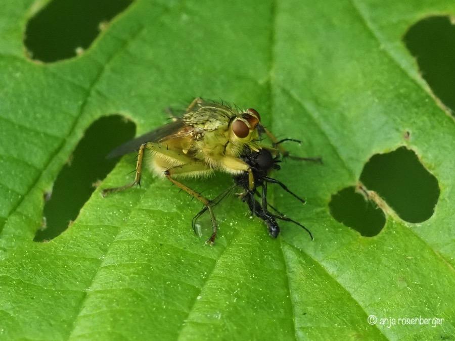 Gelbe Dungfliege mit Beute - Scathophaga stercoraria