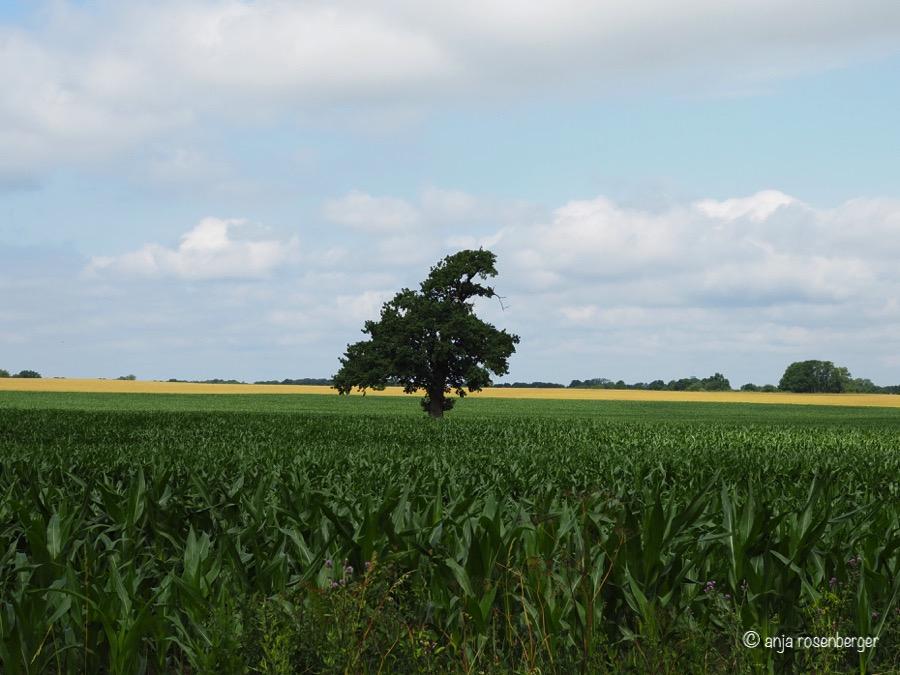 Baum auf Acker Mais Sommer