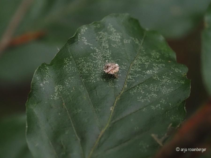 Ameisenlöwe, Larve einer Florfliege Chrysopidae