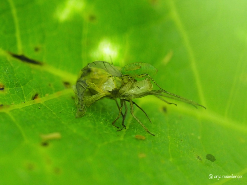 Wanzenlarve Nymphe